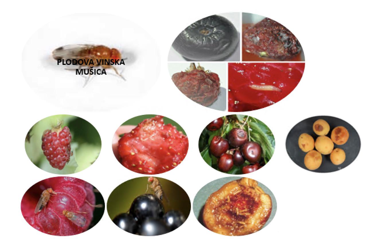plodova vinska musica - EXCELLENT NATURAL & SUSTAINABLE SOLUTION to prevent problems with Drosophila suzukii